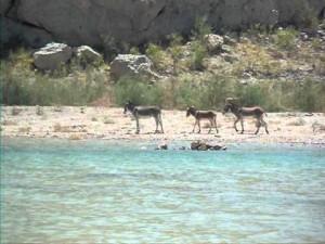 Lake Mead, donkeys, over50