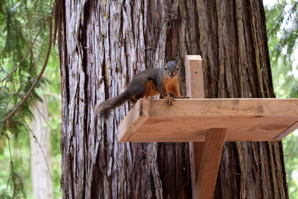 squirrel-1718302_1920
